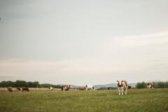 krávym