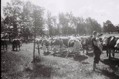 krávy1m